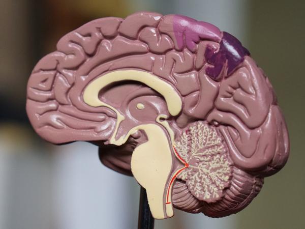 Plastic brain model showing sagittal cross-section